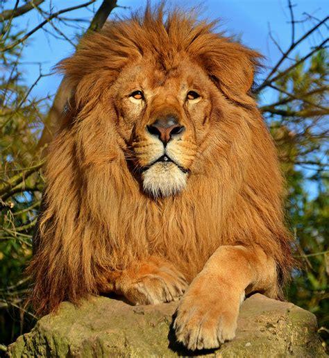 film avec un lion noir lion wikip 233 dia