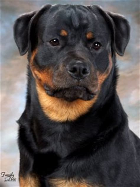 silverhill rottweilers silverhill rottweilers carolina breeder of rottweilers with exceptional