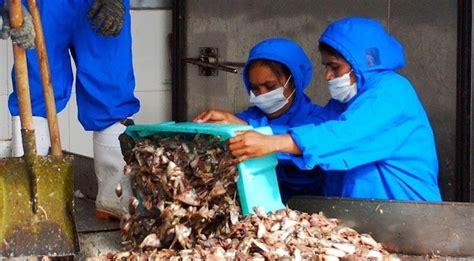 Tepung Ikan Sebagai Bahan Pakan Ternak mengulik penggunaan tepung ikan sebagai curan bahan