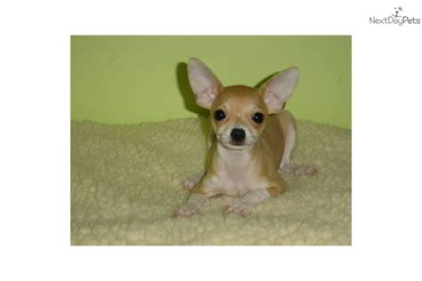 empire puppies chihuahua meet chihuahua 950 empire puppies a puppy for adoption