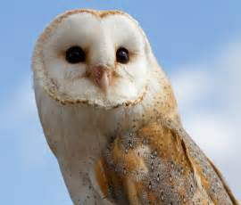 What Are Baby Barn Owls Called The Magic Of Hogwarts Rp Character Applications