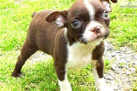 meet male  cute boston terrier puppy  sale
