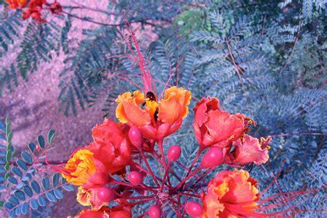 desert flower unlv desert flowers las vegas photos aravinda loop