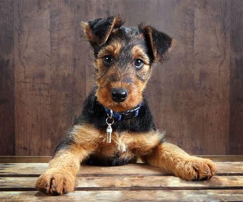 airedale puppies wired hair terrier haircut styles hairstyle gallery