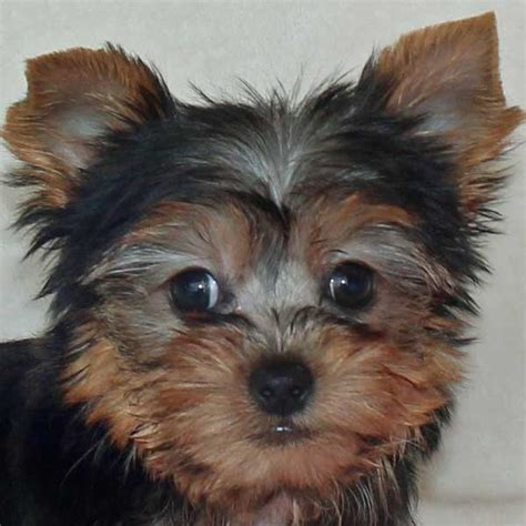 yorkie florida yorkie terrier puppy for sale in boca raton south florida