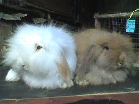 Raflessia Bengkulu kelinci raflessia bengkulu sumber inspirasi