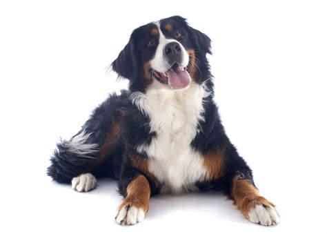 bernese mountain breed history and some interesting facts breed spotlight bernese mountain dogs pawderosa ranch