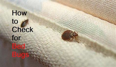 test for bed bugs how to check for bed bugs