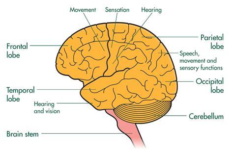 brain tumor diagram brain cancer cell diagram www pixshark images