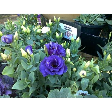 Bibit Tanaman Mawar Mix 10pc Kg benih mawar biru blue