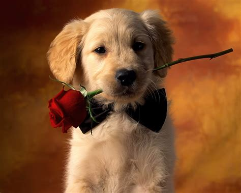 dog wall paper dog and red rose flower dog wallpapers backgrounds dogs