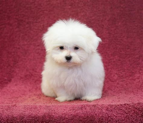 puppies for sale in michigan craigslist beautiful maltese pups puppyindex