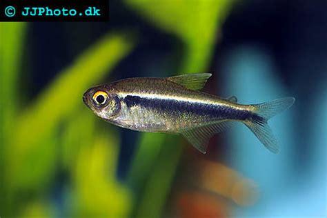 Black Neon Tetra sea animals quot black neon tetra quot
