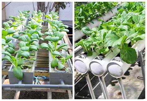 menanam mawar hidroponik 5 teknik dan 2 metode menanam sayur di pipa paralon dan