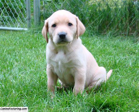 golden lab mix puppies golden retriever caninefostering
