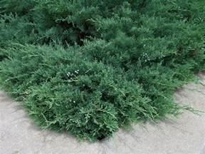 how to grow juniper gardening juniper shrubs growing
