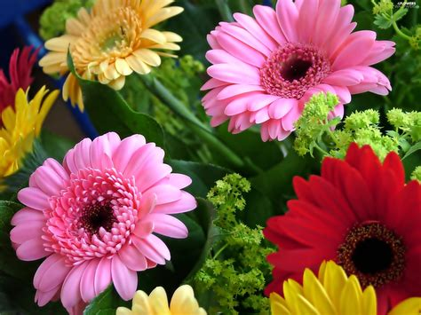 gerbera colors color gerberas flowers wallpapers 2560x1920