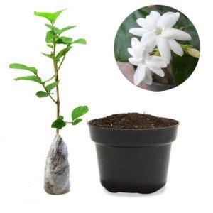 Tanaman Bunga Melati 9 cara menanam bunga melati dalam pot panduan lengkap