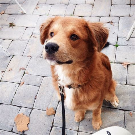 border collie and golden retriever border collie golden retriever mix liebe pfoten