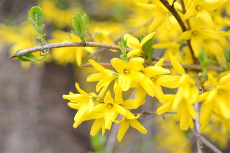 Help Decorate My Home by How To Propagate Forsythia From Cuttings Ebay
