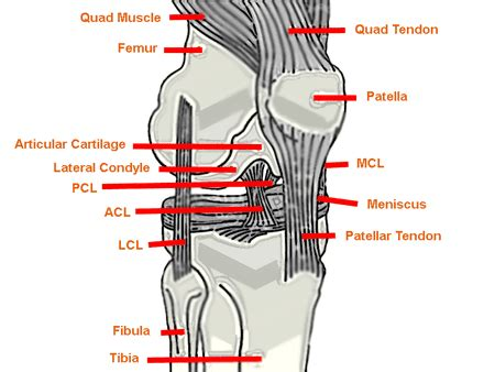 parts of knee diagram