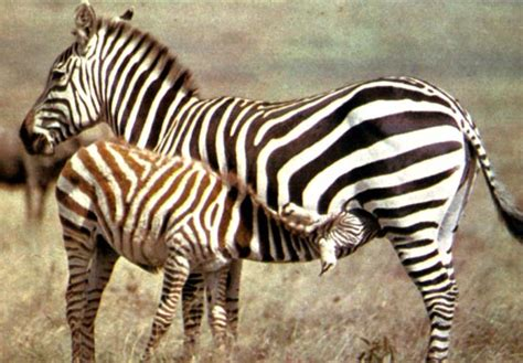 imagenes de animales cebra animales la cebra