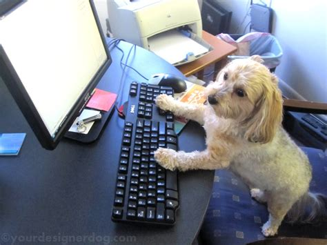 what to do with puppy when at work all day havanese with office assistant skills doggie outpost