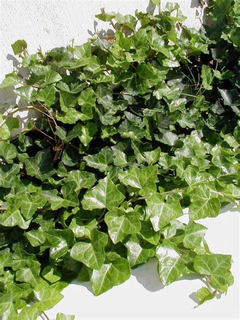 english ivy english ivy