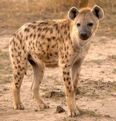 igbo names for animals west africa animal hyena animal free image pictures wallpapers backgrounds