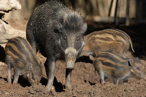 Wild Swine (Pig and Hog)   San Diego Zoo Animals & Plants