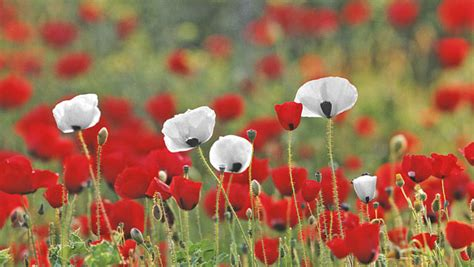 white poppy white poppies new remembrance day ceremony highlights