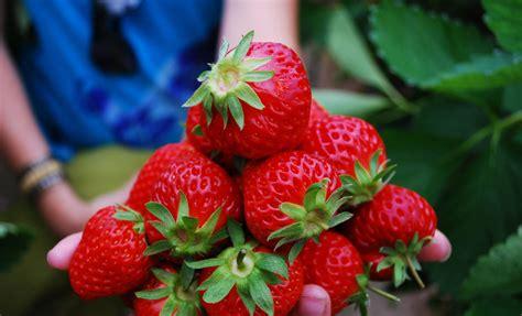wisata kebun strawberry ciwidey lembang airy blog