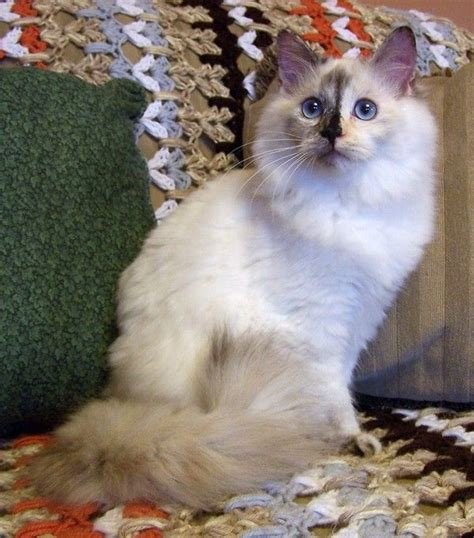 ragdoll mix the gallery for gt ragdoll mix calico