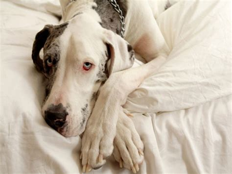 yeast infection on dogs skin fungal infection malassezia pachydermatis of the skin in