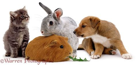 Pets: Rabbit, Guinea pig, puppy kitten pet animal group
