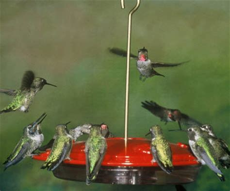 bee proof hummingbird feeders hummingbirds plus