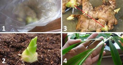 zenzero coltivazione vaso come coltivare lo zenzero in vaso dionidream