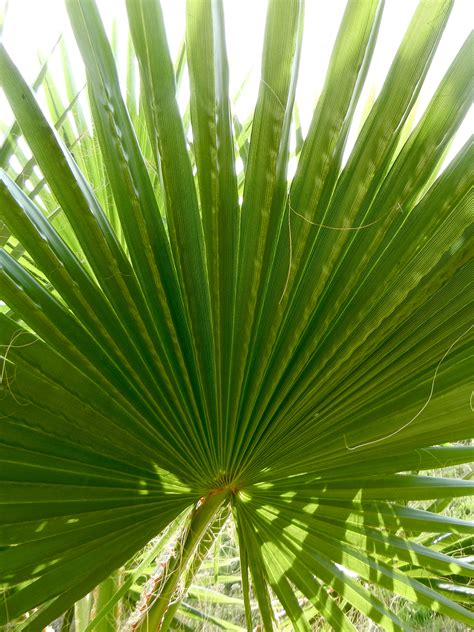 mexican fan palm los angeles love affair