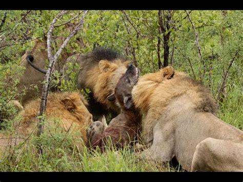 film lion vs hyena eternal enemies lions vs hyenas documentary