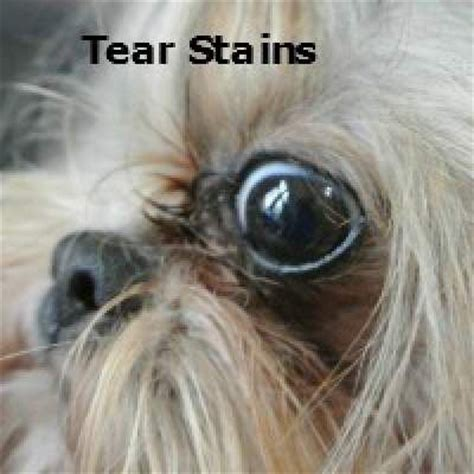 yorkie tear stains oh those tear stains http miracleshihtzu grooming the shih tzu html