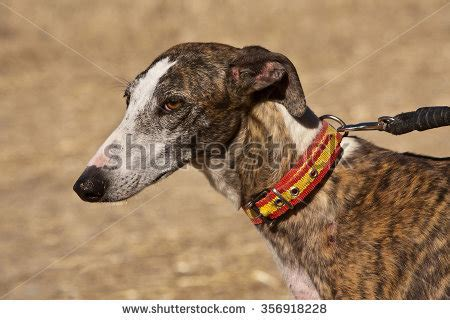 Indigenous Also Search For Hound Stock Images Royalty Free Images Vectors