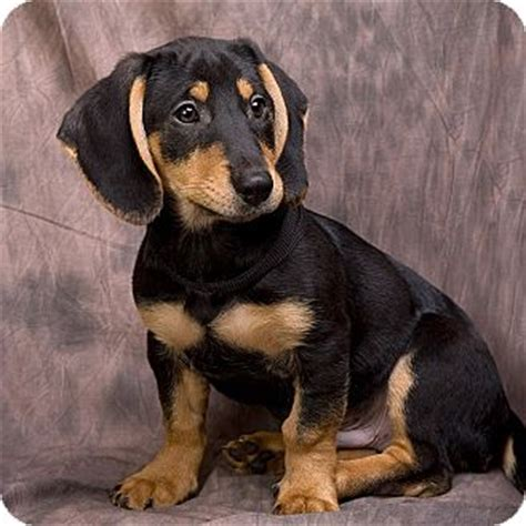 beagle dachshund mix puppies for sale puppy beagle breeds picture