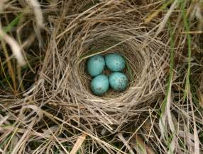 animal bird bird nest photo clay colored sparrow