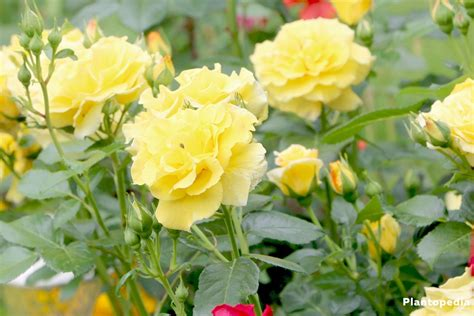 roses back vcut pruning roses how to prune roses when to prune roses