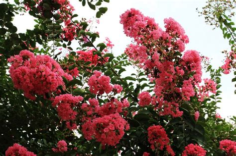 China Garden Myrtle Sc by Profile Of Xiangyang China Crape Myrtle Garden