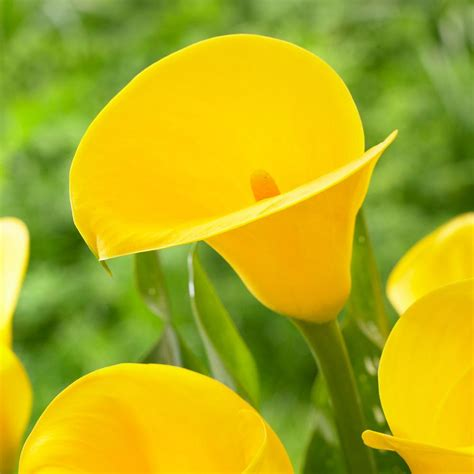 calla lily golden chalice 3 bulb ideal for pots and