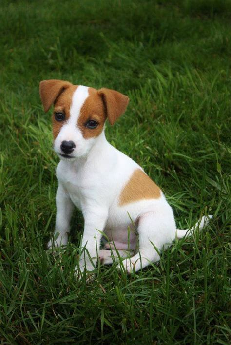 russel puppy 17 best ideas about terriers on terrier