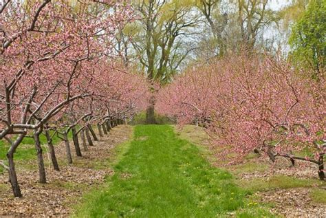 5 cherry tree wilmslow dallas fruit and vegetable grower growing cherry trees in dallas and