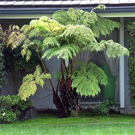 fern tree ferns pinterest trees tree fern and ferns