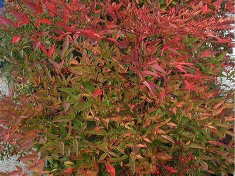 nandina domestica in vaso pianta nandina piante da giardino pianta nandina